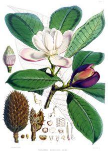 Magnolia S
